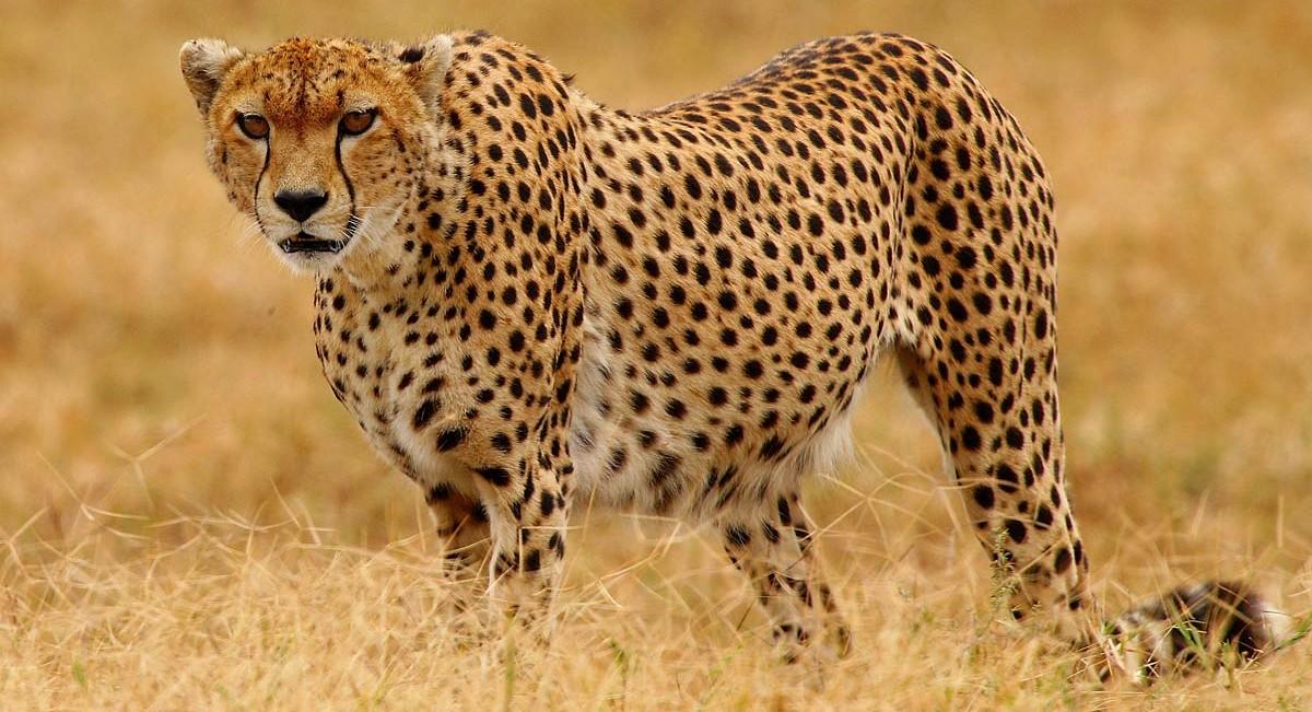 Afrika, Tansania, Gepard im Ngorongoro Krater