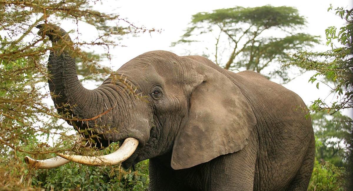 Afrika, Tansania, Elefant im Ngorongoro Krater