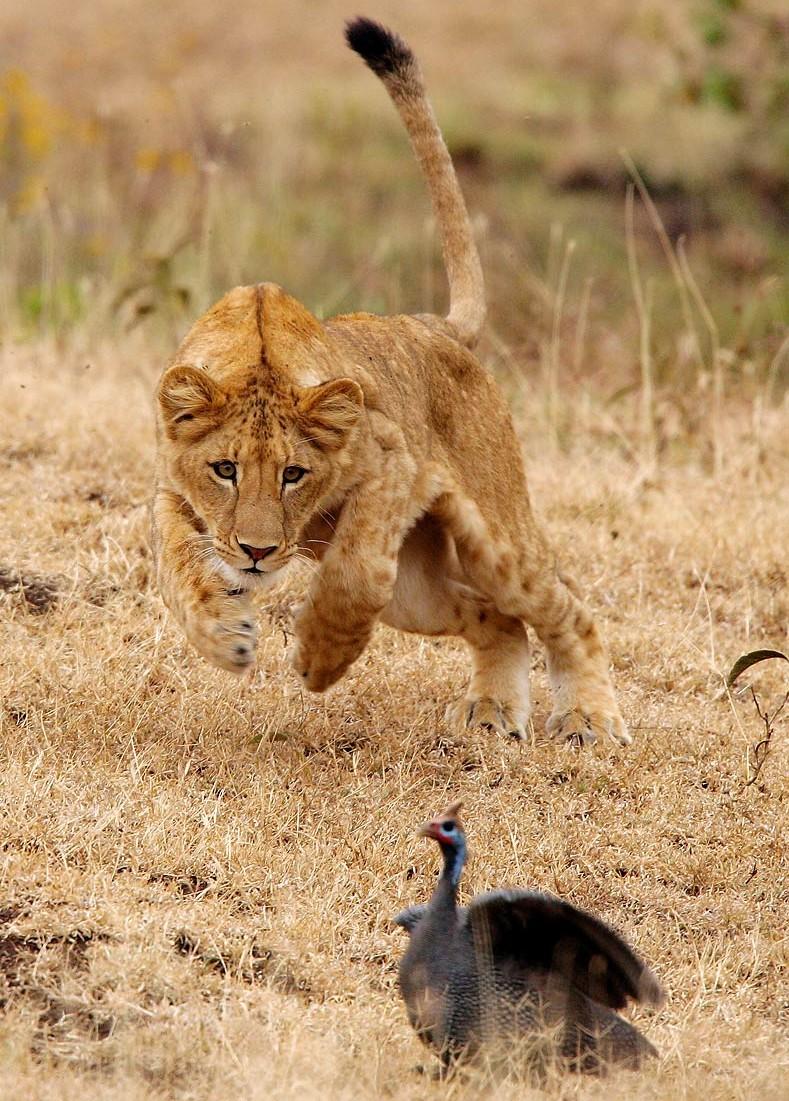 Afrika, Tansania, junger Löwe jagt Perlhuhn im Ngorongoro Krater