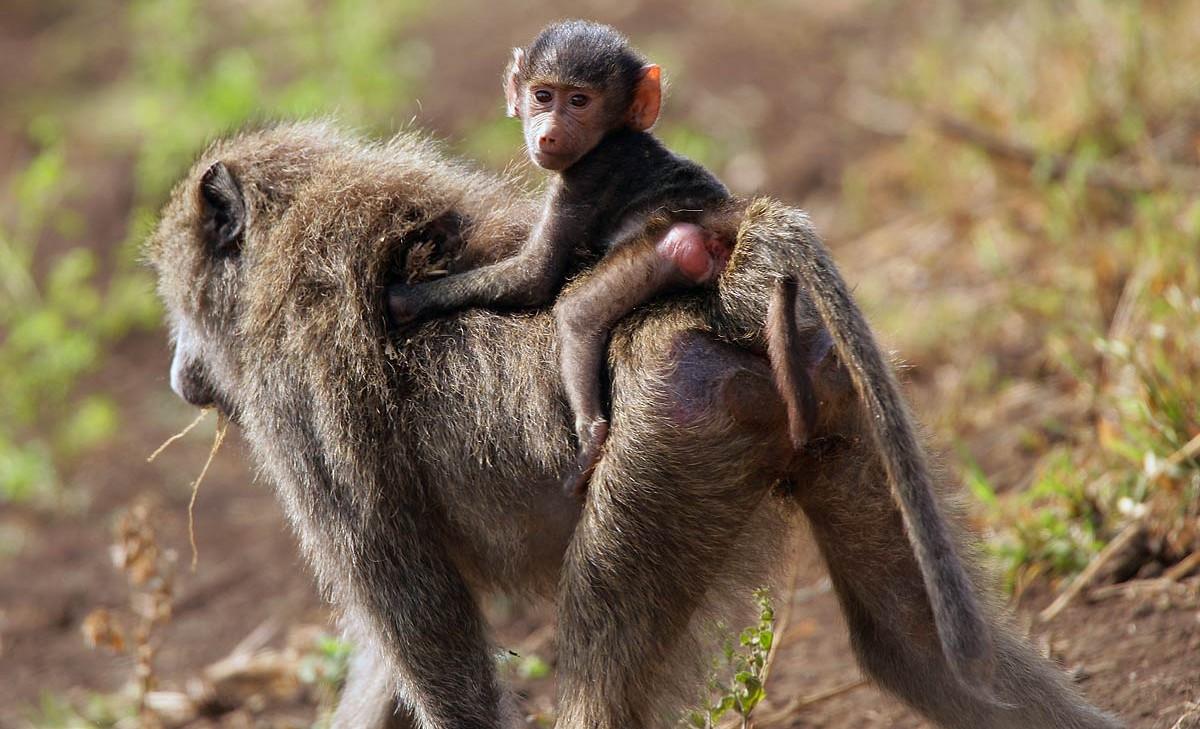 Afrika, Tansania, Serengeti, junger Pavian