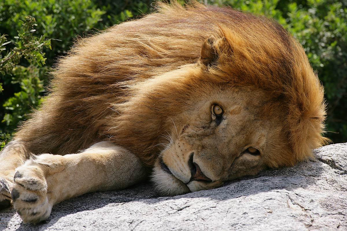 Afrika, Tansania, Serengeti, Simba Koppjes, männlicher Löwe