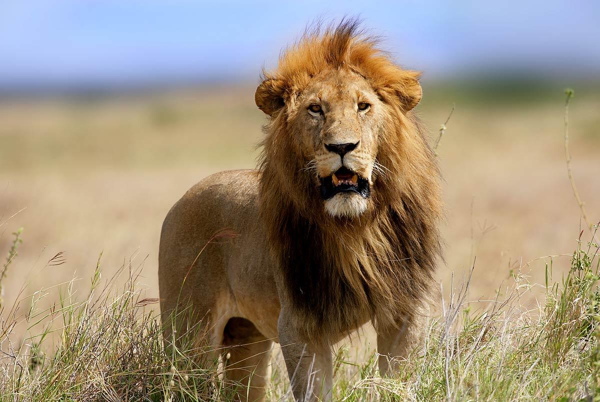 Afrika, Tansania, Serengeti, , männlicher Löwe , steht im Grasland