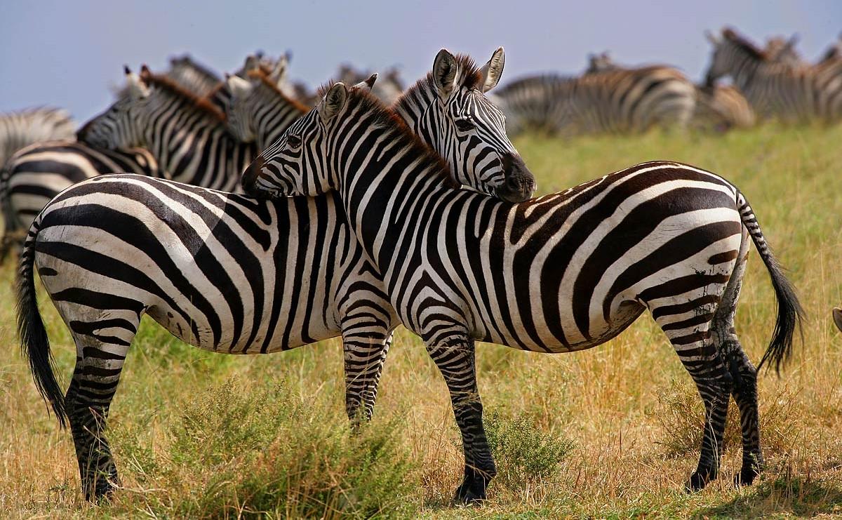 Afrika, Tansania, Serengeti, Zebras