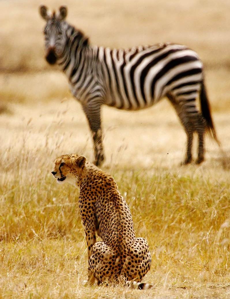 Afrika, Tansania, Ngorongoro Krater, Gepard und Zebra