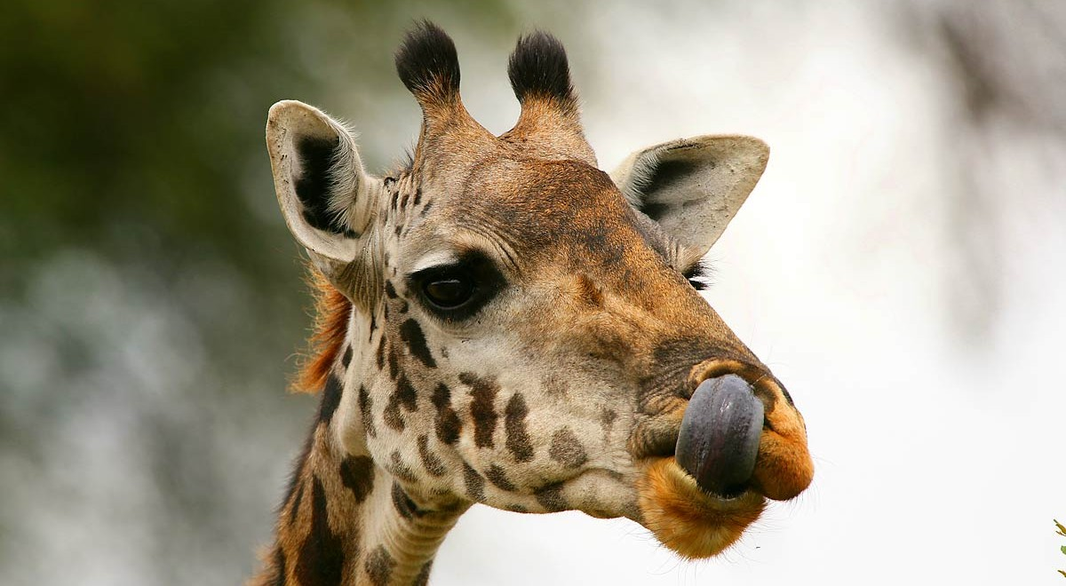 Afrika, Tansania, Serengeti, Giraffe