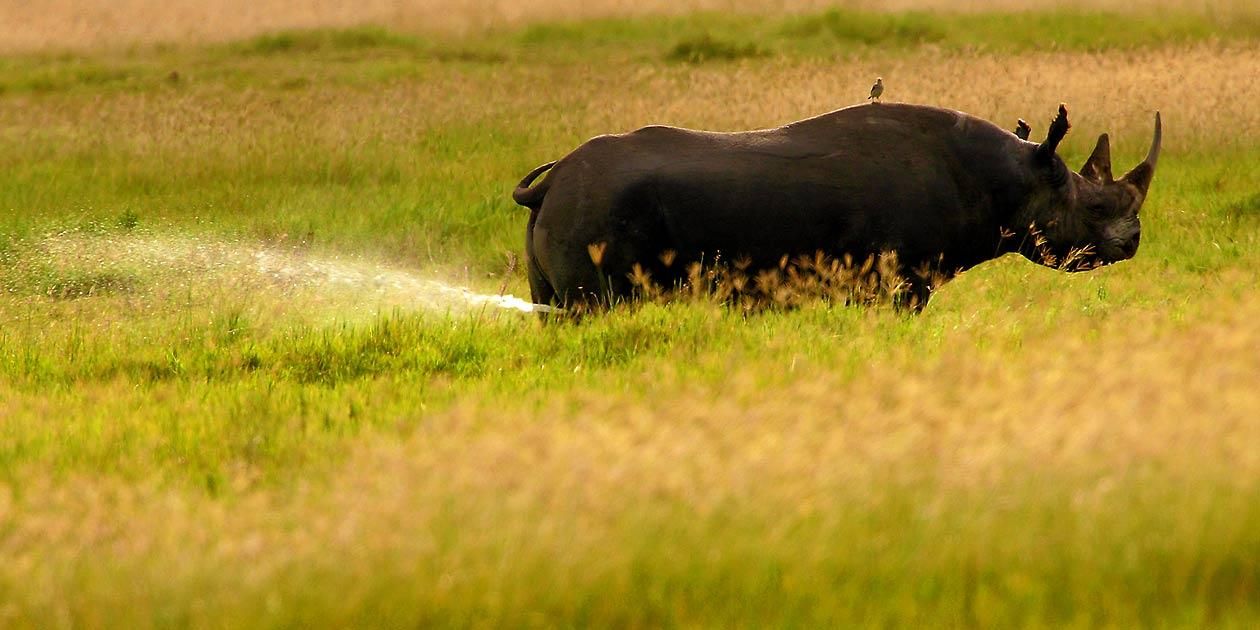Afrika, Tansania, Ngorongoro Krater, Nashorn, Foto: Bernd Eßling, Bildjournalist, Fotograf