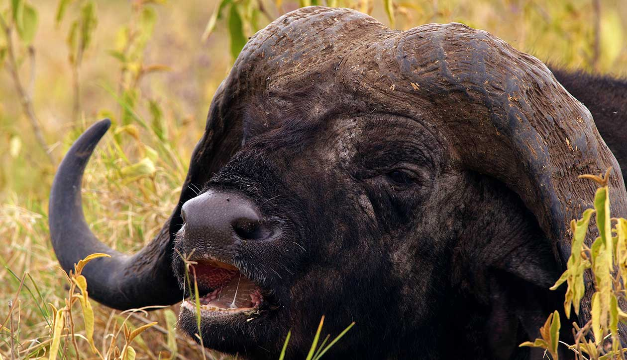 Afrika, Tansania, Ngorongoro Krater, Büffel, Foto: Bernd Eßling, Bildjournalist, Fotograf