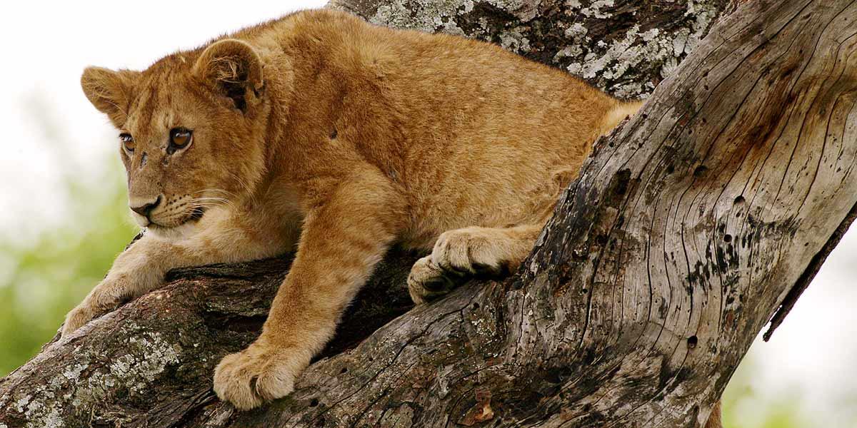 Afrika, Tansania, Serengeti, junger Löwe im Baum , Foto: Bernd Eßling, Bildjournalist, Fotograf
